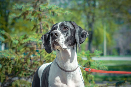 adult black-and-white Pointer breed dog on a background of green trees