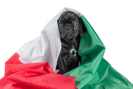 black little cane corso puppy with italian flag Stok Fotoğraf