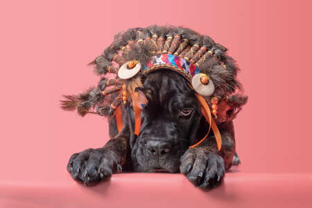 cane corso puppy in indian roach on coral background Stok Fotoğraf