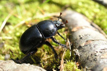 lag: a big black beetle and a lag