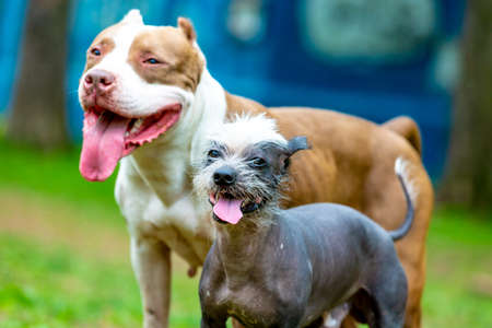 Two cutes dogs playing together outdoors on the green grass. Lifestyle portrait of a Bull and Chinese Crested