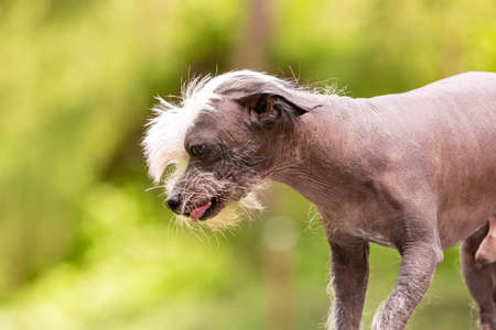 Chinese crested dog on green trees blurred background Imagens