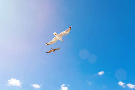 White gulls hovering in the sky. Birds flight. Seagull on blue sky background Stock Photo
