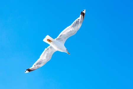White gull hovering in the sky. Birds flight. Seagull on blue sky background Banco de Imagens