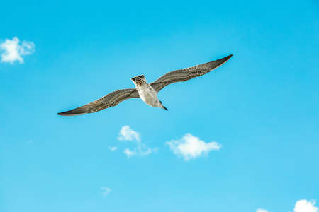 White gull hovering in the sky. Birds flight. Seagull on blue sky background Stock Photo