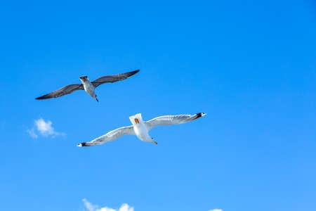White gulls hovering in the sky. Birds flight. Seagull on blue sky background Banco de Imagens