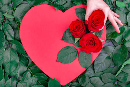 Holiday background, Valentines day. Box in the shape of a red heart decorated with a red roses Hand touches flowers on a background of green leaves, copy space