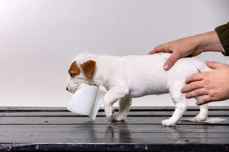 cute jack russel puppy playing with toilet paper while mans hands pet a puppy