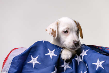 American independence day concept, cute puppy jack russell terrirer pose with USA flag