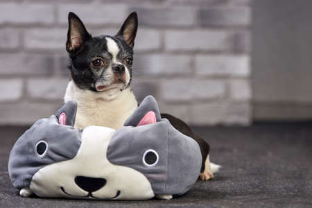 Short-haired Chihuahua dog posing indoors in a big toy on a white brick background 스톡 콘텐츠