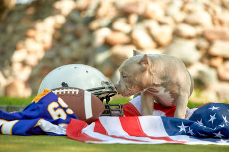 American football concept. A dog with a uniform of an American football player posing for the camera in a park. Patriotism of the national game, copy space, advertising banner. 版權商用圖片