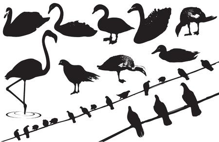 cisnes: Siluetas negras de las aves silvestres sobre fondo blanco