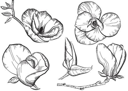 magnolia: Vintage flowers for design.Isolated floral illustration