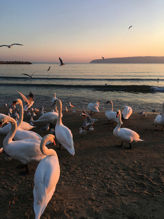 A drink of swans chills out on the beach under a beautiful sunset. 스톡 콘텐츠
