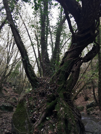 A knotty tree stands tall in the forest, in Italy.