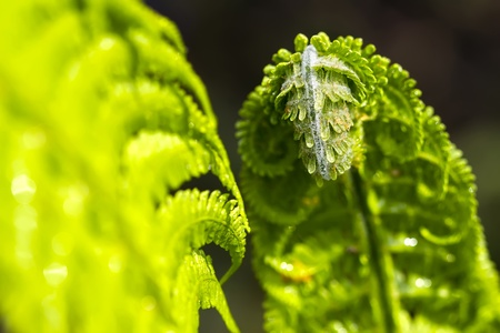 king fern: Green fern leaf