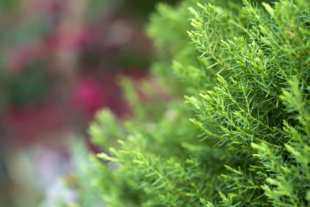 king fern: Conifer macro