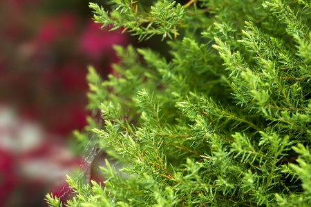 Conifer Stock Photo - 21766274