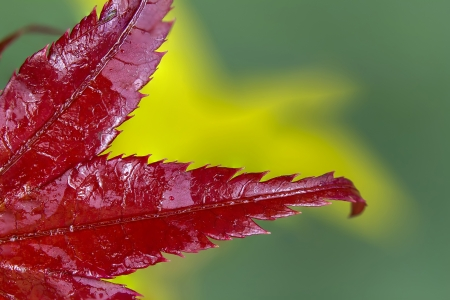 king fern: Red leaves