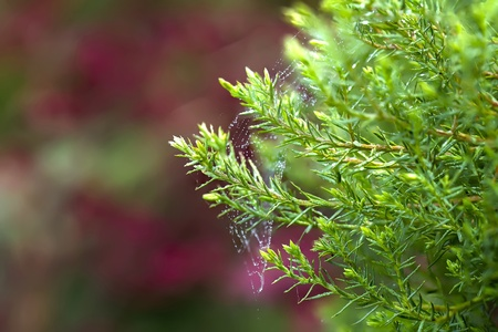 Conifer on a red background Stock Photo - 21755872