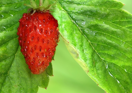Strawberry, photographed in the garden Stock Photo - 23259279