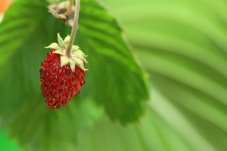 Strawberry in the garden Stock Photo - 23259285