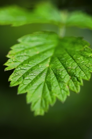 king fern: strawberry leaves