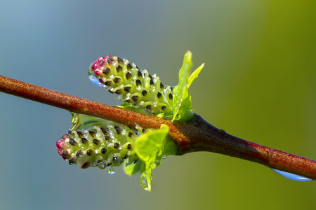 king fern: Macro young in spring