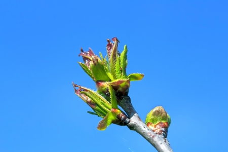 king fern: Spring buds on tree branch in blue