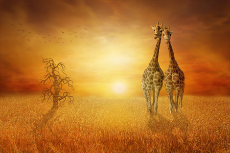 manipulate: Giraffes wheat field Stock Photo
