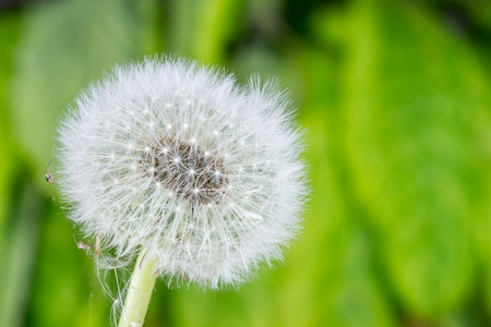 king fern: fragile dandelion in spring