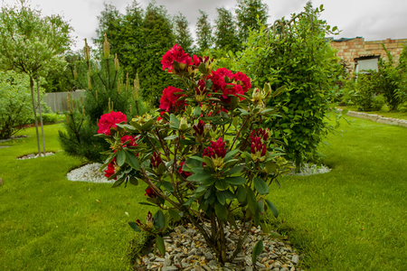 king fern:  beautiful red bush in spring Stock Photo