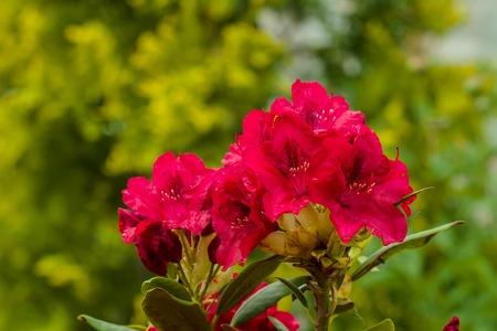 beautiful Rododendro photo