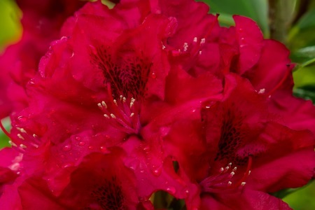 king fern: red Rododendro