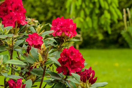 nice Rododendro photo