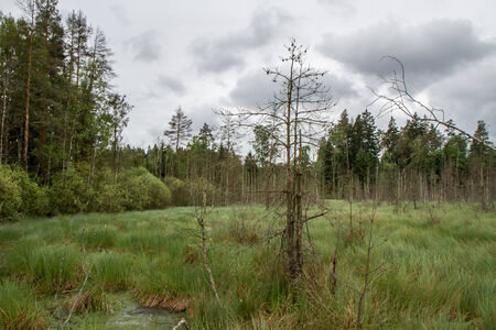sear: trees in swamp