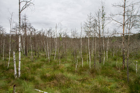 sear: trees in the swamp