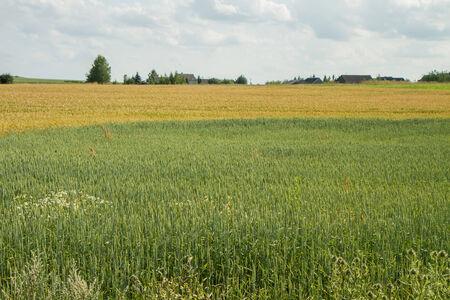 harvest field: harvest field Stock Photo