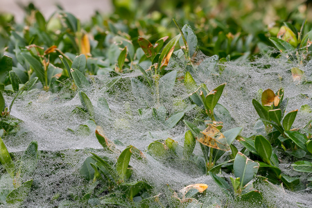 morning dew: dew drops on the web in early morning