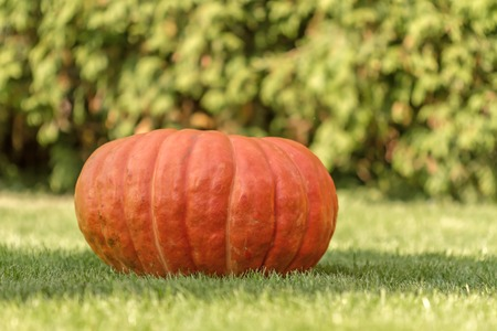 pumpkin patch: red pumpkin in autumn