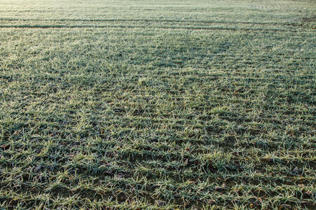 Winter crop field frosted in morning Stock Photo