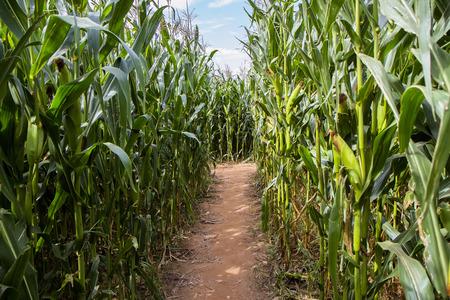 corn field labyrinth