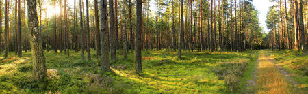 end of summer: forest panorama