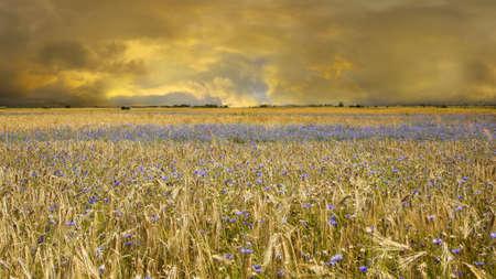 spores: Yellow wheat fields