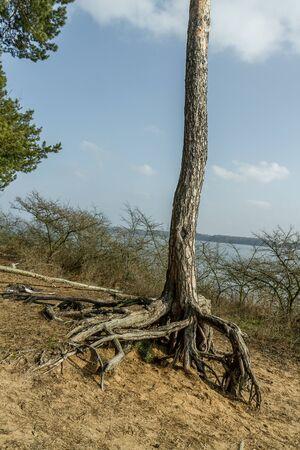 lagoon: Tree roots near the Kaunas Lagoon Stock Photo