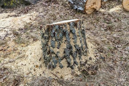stump: Sawdust around the stump Stock Photo