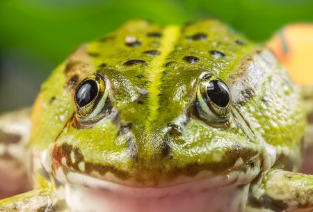 green frog: Green Frog Macro