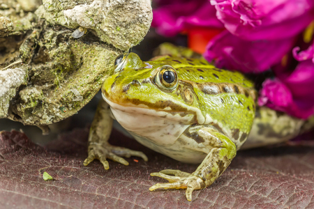 agalychnis: Frog to a tree branch Stock Photo