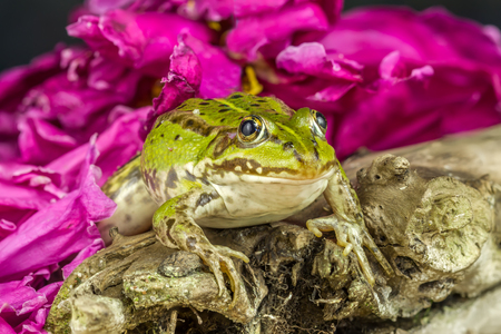 agalychnis: Frog among the flowers