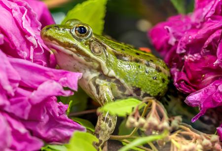 green tree frog: Frog near flowers